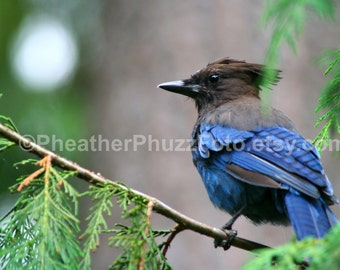 Steller's Jay Wildlife Photography Fine Art Nature Print, Blue Bird Photo, Pacific Northwest Home Decor, Wall Art