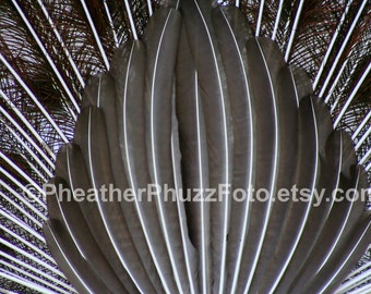 Peacock Tail Wildlife Photography Fine Art Nature Print, Bird Photo, Peacock Home Decor, Wall Art black and white