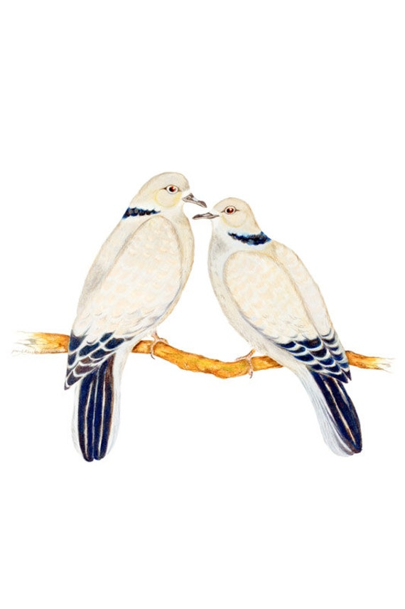 LIMITED EDITION Eurasian Collared Doves, ART, Streptopelia decaocto, Bird Art Print of Pencil Drawing, Tourterelle turca, tortora orientale