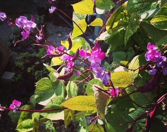 Hyacinth Bean Vine Hyacinth Bean Seeds 15 Purple Hyacinth Bean Lablab purpureus Ornamental Vine