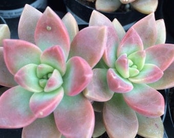 Succulent Plant California Sunset. Coloring is like a perfect West Coast Sunset.