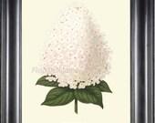 BOTANICAL PRINT Wendel 8x10 Botanical Art Print 25A Beautiful Antique White Peegee Hydrangea Flower Spring Summer Garden Plant to Frame