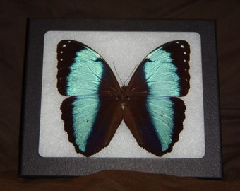 Framed Butterfly Morpho patroclus from Peru Wing Art Display Butterfly Collection #1-6
