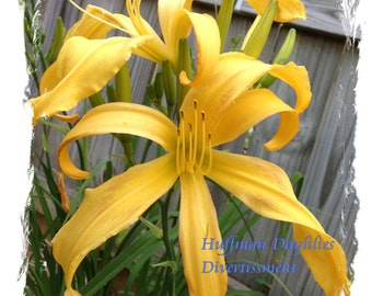 "Daylily, 'Divertissment"", double fan, perennial"