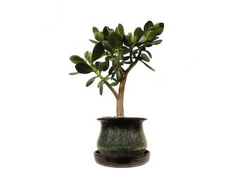 "Jade Plant Crassula Ovata 18"" Tall Plant in a Black & Green Round Planter"