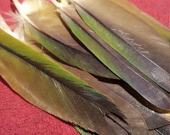 Sun Conure Feathers - Cruelty Free