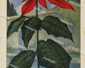 1900 Original lithograph of Poinsettia double sided - wall art- art decor- clip art- home decor- Antique- funa- flora- flowers - Botanical