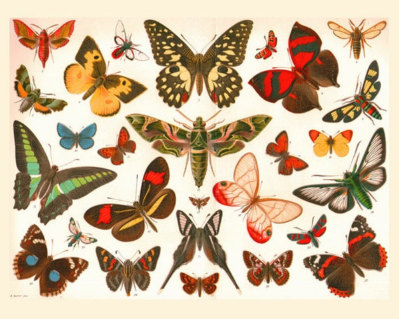INSTANT DOWNLOAD Antique BUTTERFLIES Natural Science Butterfly  Vintage Butterfly Chart