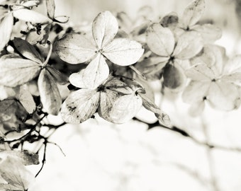 dried hydrangea black and white