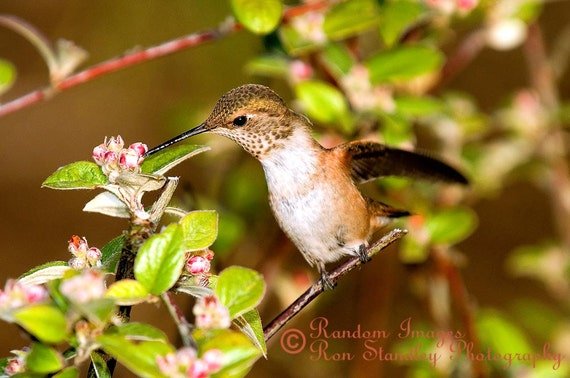 Rufous hummingbird sitting on a branch nature photograph printable art