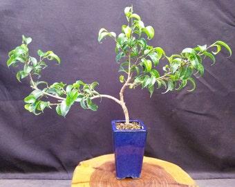 Ficus burnt-davy 'Kiki' Indoor bonsai