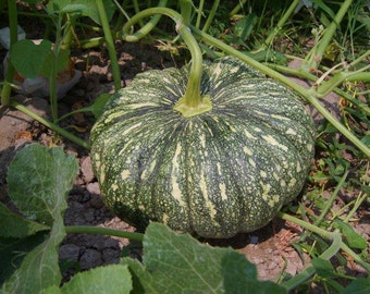 Rai Kaw Tok pumpkin 10 seeds Thai dessert vegetable