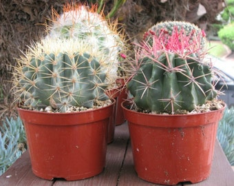 Two Over sized Cactus in 6 inch pots