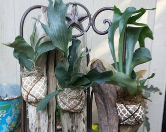 "Mounted Stag Horn Ferns-Medium 12""-16""- Made to order! Each is One of a kind!"