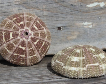 Beach Decor - Large Alfonso Urchin  - Wholesale Seashells - Jewelry - Beach Wedding - Sea Urchin