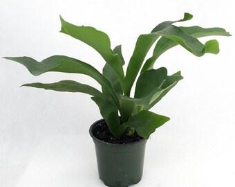 Live Staghorn Ferns, Platycerium bifurcatum, ROOT STAGHORN FERN