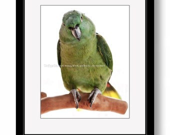 PARROT Portrait, Yellow-naped Amazon, Bird Photography, Parrot Photography, Nature photography, Color WALL DECOR