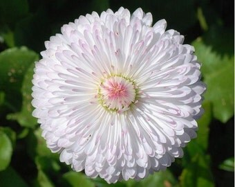 Dwarf White English Daisy- 50 Seeds