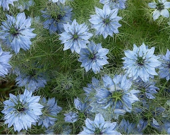 Love in a mist- Blue - 100 Seeds