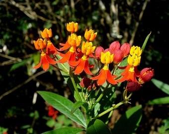 VikkiVines~BLOODFLOWER~ Bold Red Butterfly Magnet~Asclepias curassavica 15 Seeds