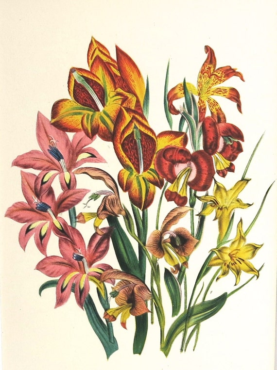 1948 print by Jane Loudon, bulbs, Gladioli, red, pink, yellow, print taken from botanical plate, matted for framing, 8 x 10 inches