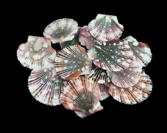 Baby Flat Pectin Shells - Brown Pectin - Flat Seashells - Craft Seashells - Bulk Shells