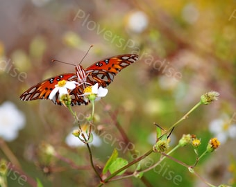 Butterfly Photograph // Florida Gulf Fritillary Butterfly Picture // Florida Nature Print