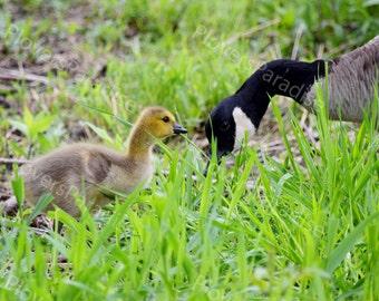 Canadian Goose and Gosling Photograph // Baby Bird Print // Goose Picture // Bird Photograph