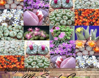 50 x Conophytum Species Mix Seeds - Cactus Mix - House Plants cactus cacti succulent
