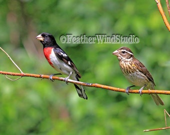 Rose Breasted Grosbeak Male and Female Birds Pic | Summer Bird Photography | Nature Photo Art | Finch Wall Decor | Grosbeak Pair Bird Print