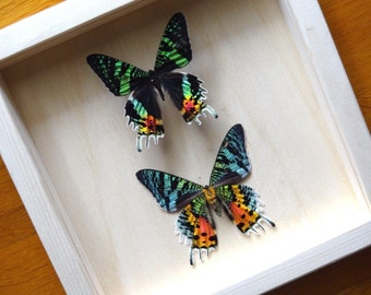 Real Urania Ripheus (Sunset Moth) Pair Framed - Taxidermy - Home Decoration - Collectibles