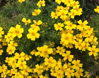 SALE! Marigold 'Signet Lemon' Seeds