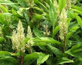 Galanga garlic  RARE live quart plant FREE SHIP