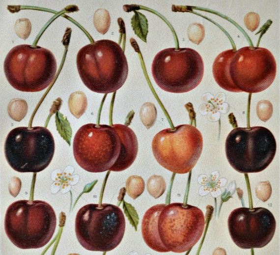 Cherries. Old book plate, 1904. Antique  illustration. 110 years lithograph. 9'6 x 6'2 inches.