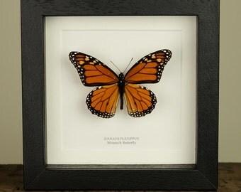 Monarch Butterfly in Box Frame (Danaus plexippus) Real Mounted Butterfly