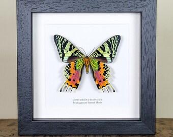 Madagascan Sunset Moth Underside in Black or White Frame (Chrysiridia rhipheus) Real Mounted Moth