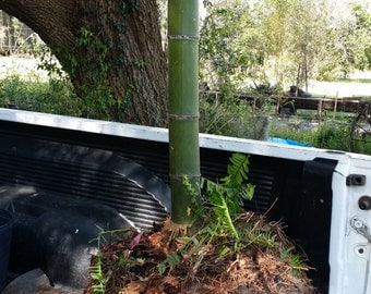 Medaka Japanese Timber Bamboo Root Ball 2-3 inch cane