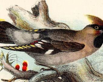 "1896 Rare ANTIQUE BIRD PRINT ""Waxwing"" Chromolithograph"