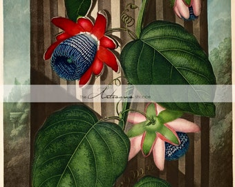Printable Art Instant Download - The Winged Passion Flower Antique Botanical Art Print - Paper Crafts Scrapbooking Altered Art Image