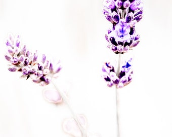 Lavender, upright panorama 2:1