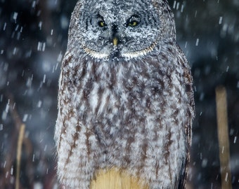 Owl Photo, Owl Print, Snowy Owl, Nature Print, Bird Picture, Bird Photography, Wall Art, Snow Angel, Winter Owl, Great Grey Owl, Cold Owl