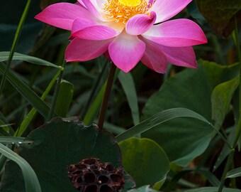 Nelumbo Nucifera, Fun Aquatic Pond, Pink Lotus 5 Seeds
