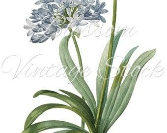 Botanical Illustration Blue Flowers Digital Image INSTANT DOWNLOAD Vintage Digital Image, Clipart - 1017