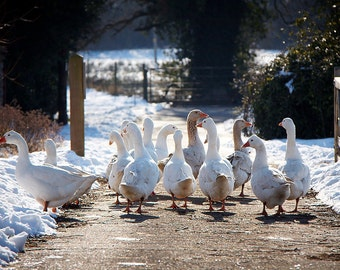 Gaggle of Geese in the Snow