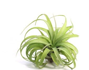 Tillandsia Eric Knobloch (T. Brachycaulos x T. Streptophylla) // Hybrid Air Plant  // Hello Tilly Airplant