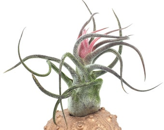 Tillandsia Pruinosa Air Plant // Hello Tilly Airplant