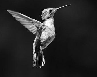 Photo Print, Black and White Photography, Hummingbird Print, Hummingbird Wall Art, Black and White Print, Monochrome Bird Print, Bird Photo