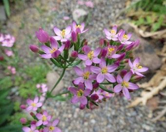 Muehlenberg's Centaury Seeds (Zeltnera muehlenbergii)