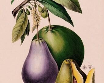 antique french botanical print avocado fruit illustration digital download