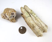 BuffaloTooth Bison Molar with Dirt, Natural Find